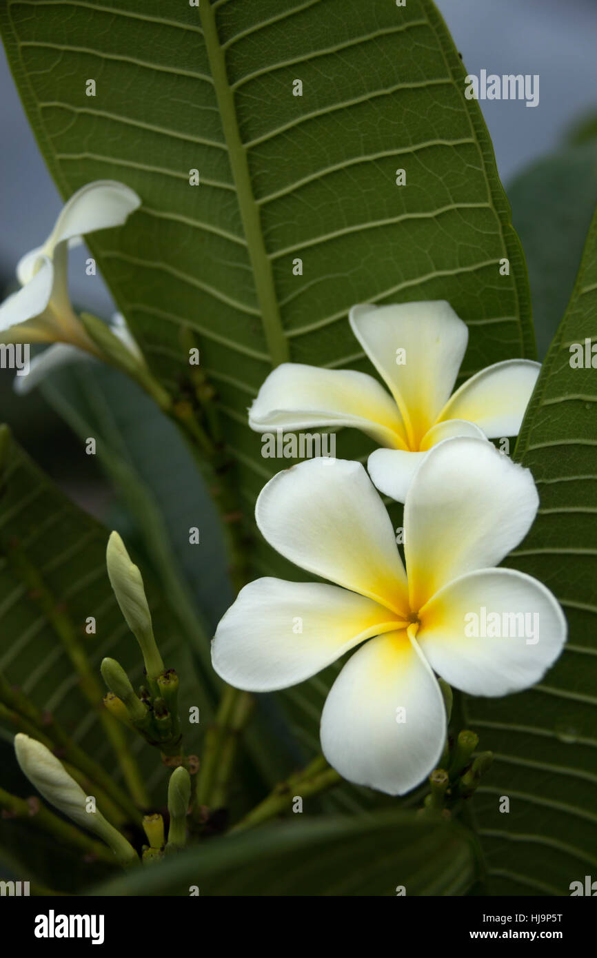 bunch of white frangipani ( plumeria ) flower with yellow center on the green leaf background close up selective - Stock Image