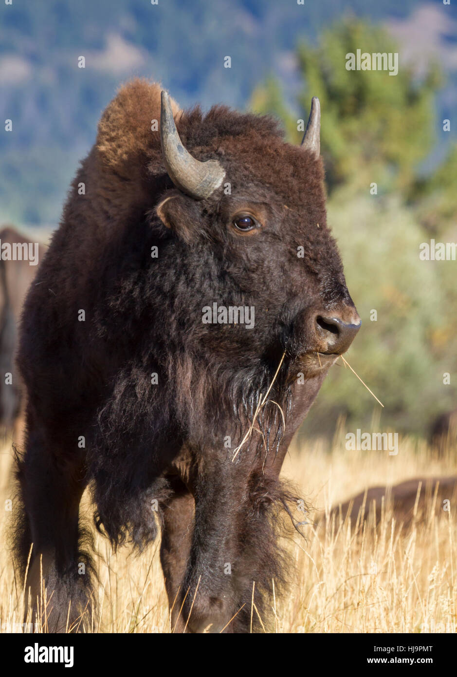 American bison (Bison bison) at Grand Teton national park Stock Photo