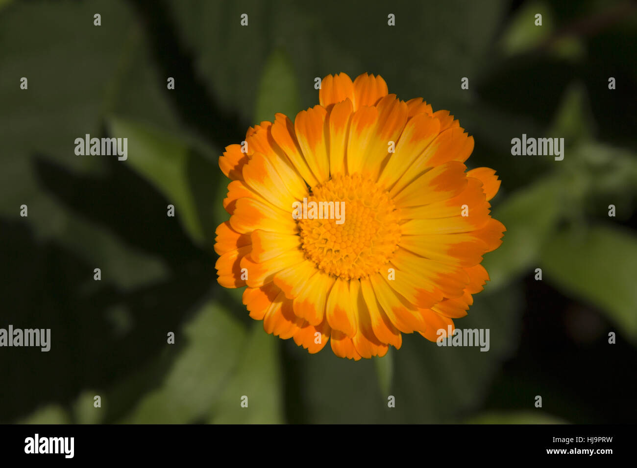 Orange Calendula Flower With Yellow Center Close Up Blurred Stock