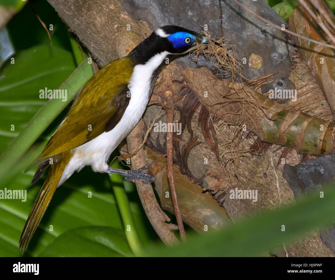 The blue-faced honeyeater (Entomyzon cyanotis) nesting - Stock Image