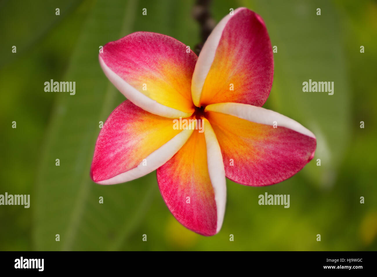 one five petal pink flower frangipani ( plumeria ) with yellow center on the green background. close up. top up - Stock Image