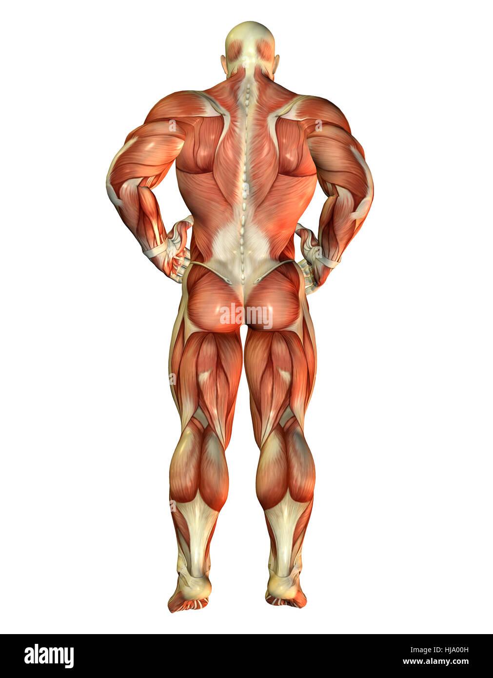 3D Rendering Muskel Body Builder Rücken ansicht Stock Photo ...