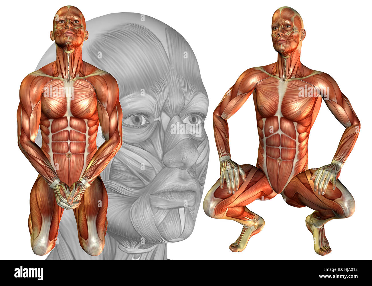 Anatomy Crouching Leg Muscles Cut Out Stock Images & Pictures - Alamy