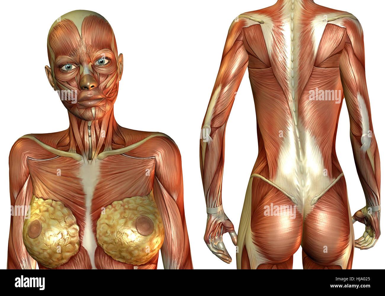 3D Rendering Frau Brust- und Rückenmuskel Stock Photo: 131755965 - Alamy