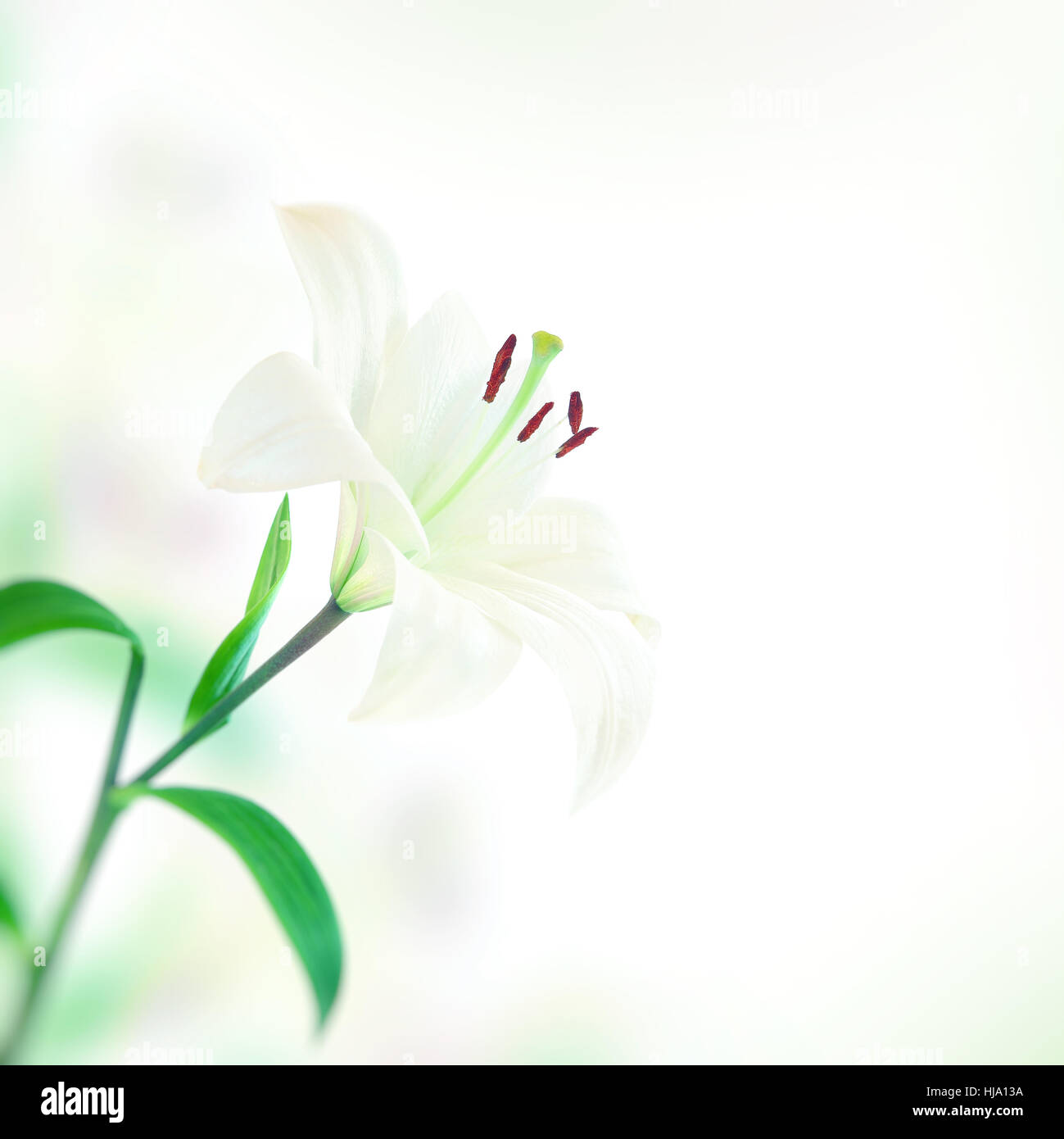 Beautiful lily flower, gentle white flower over simple background, lovely gift for mothers day, spring time season - Stock Image