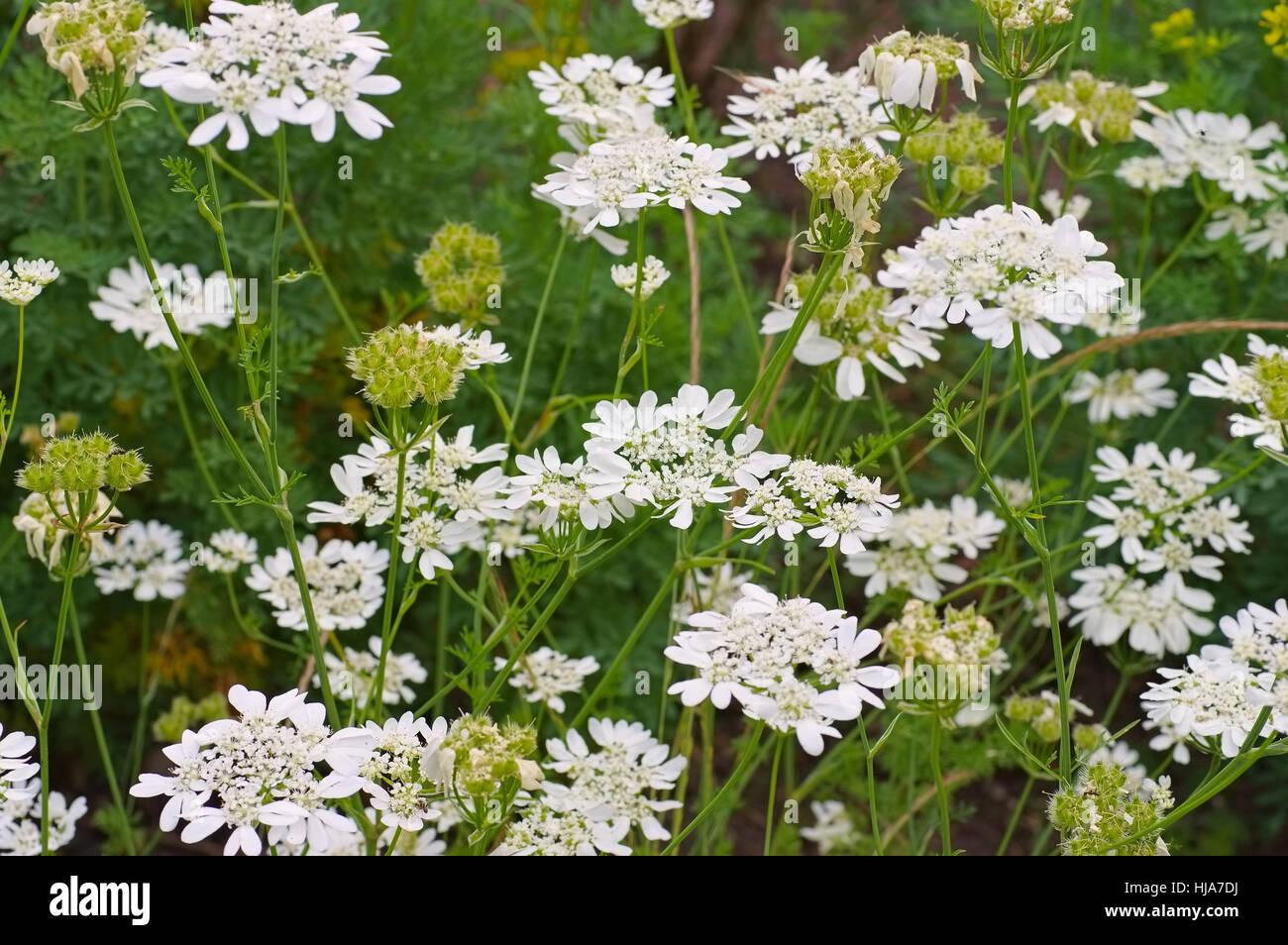 Caucalis grandiflora syn. Orlaya grandiflora a white wildflower Stock Photo