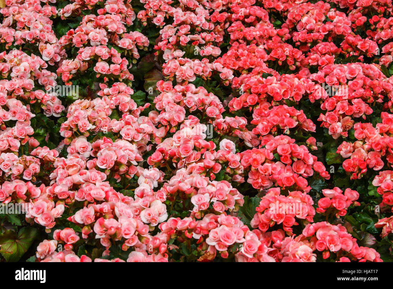 Beautiful flower  in garden, Colorful flower red and pink Stock Photo