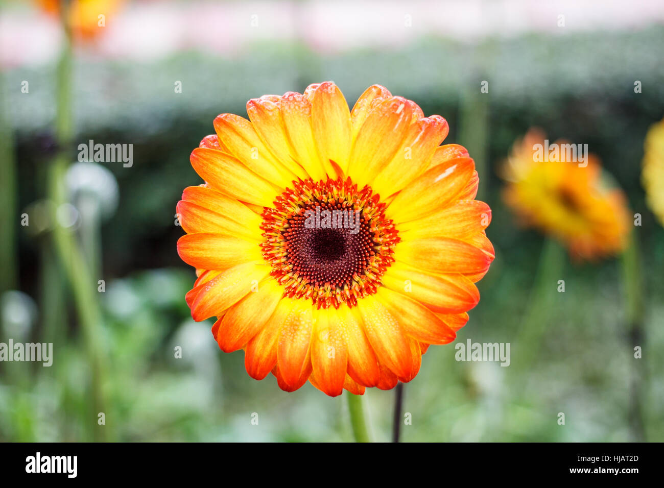 Blooming flower yellow and orange color Stock Photo