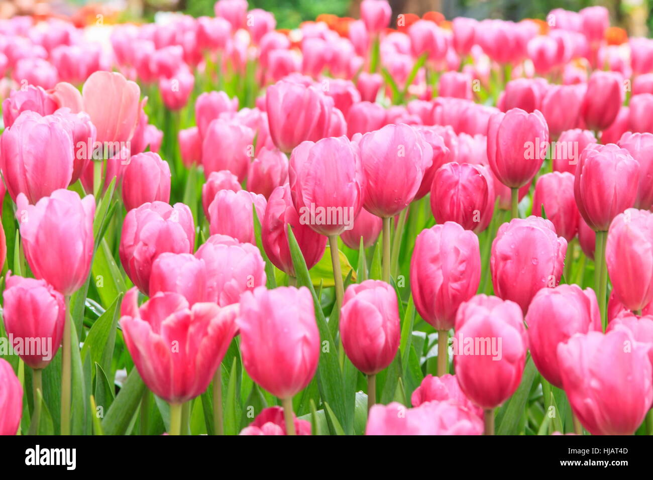 Colorful tulips. tulips in spring, colourful tulip, pink color Stock Photo
