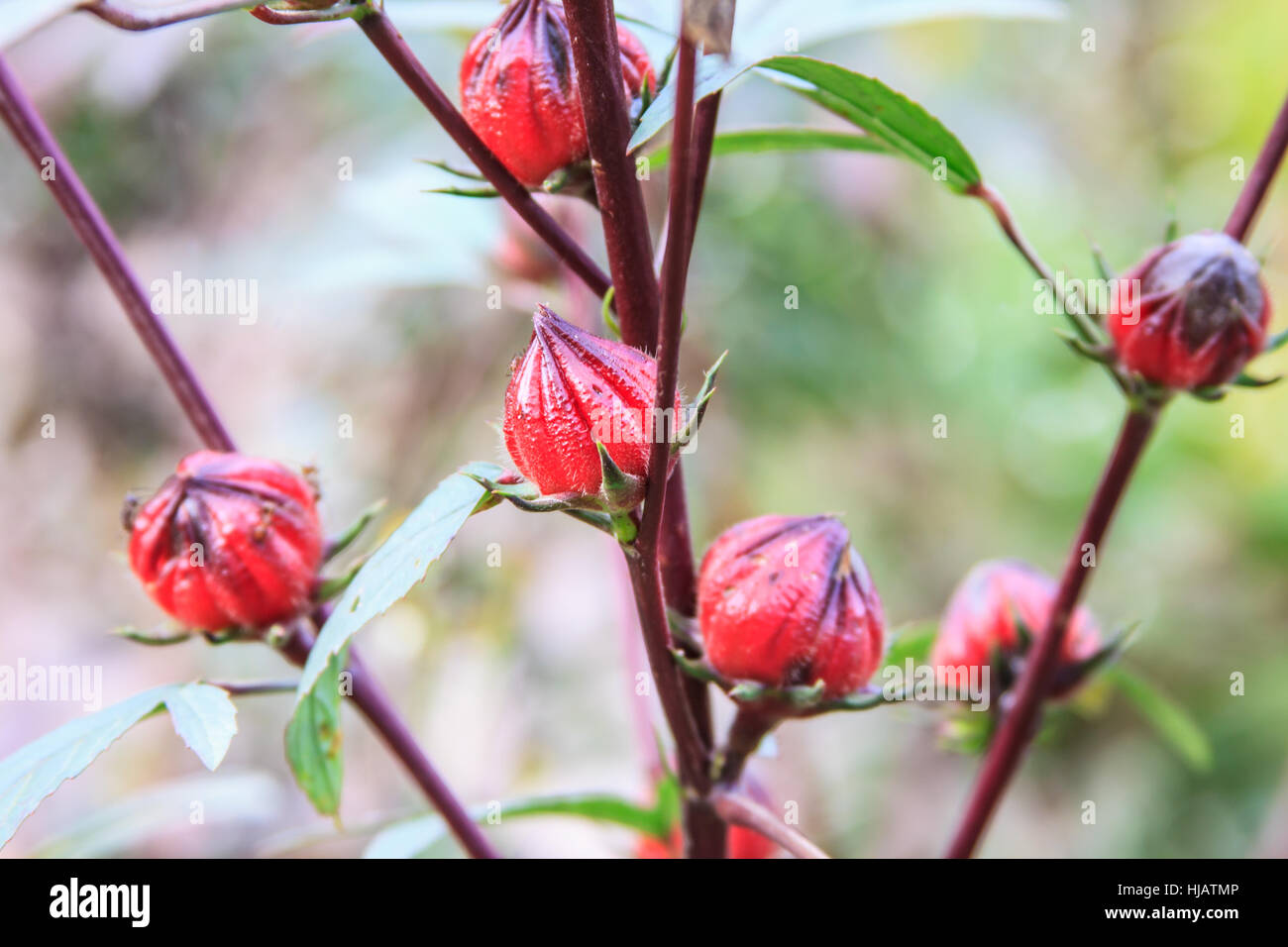 Roselle or Hibiscus sabdariffa fruit on plant in garden Stock Photo