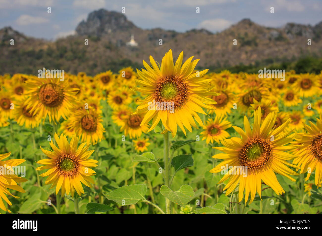 Sunflower plant in the field, Thailand Stock Photo