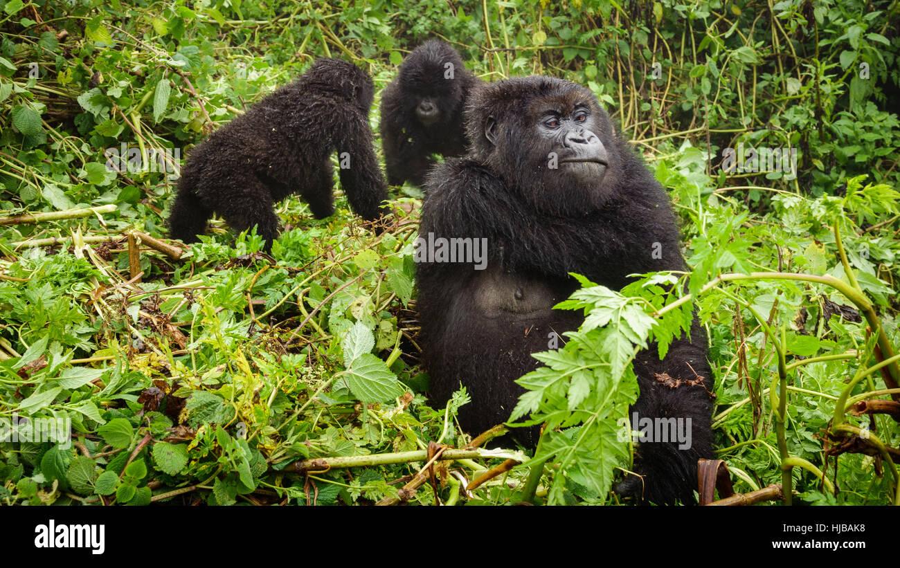 Female mountain gorilla thinking with two baby gorillas - Stock Image