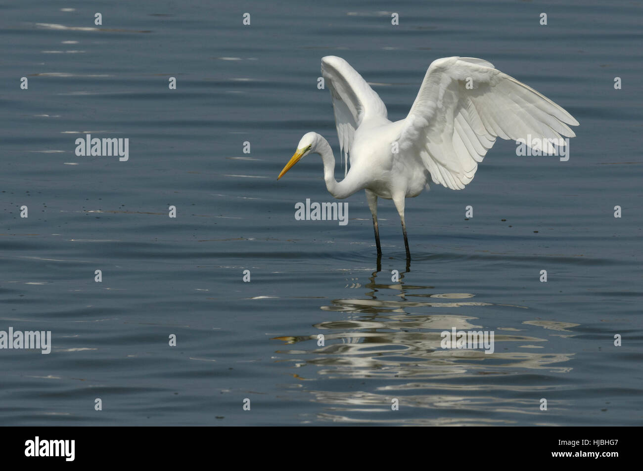 Great egret (Egretta alba) hunting fish in coastal lagoon, on Israel's Mediterranean coast. - Stock Image