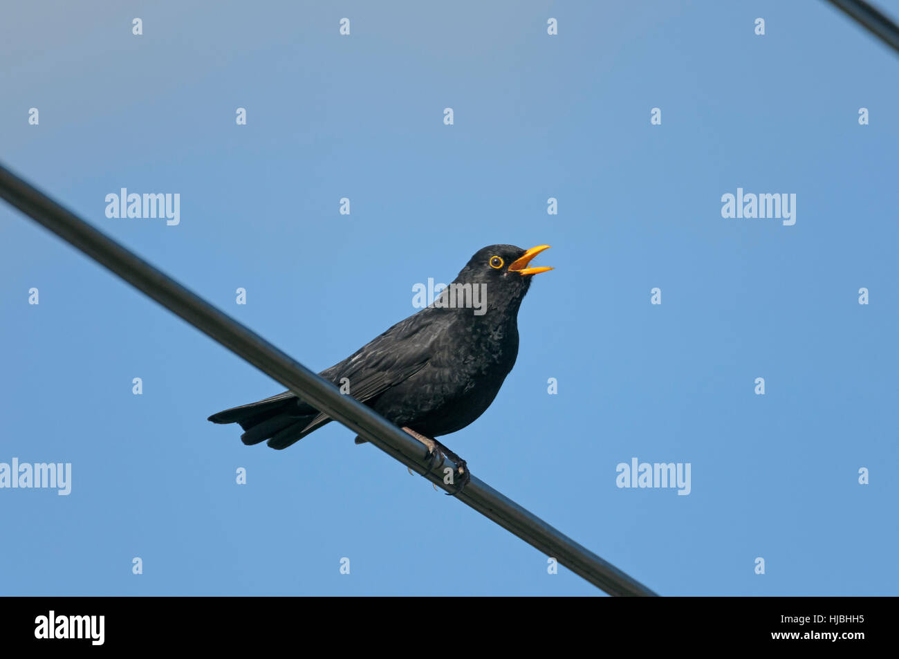 Blackbird (Turdus merula) adult male singing from perch on overhead cables. Cambridgeshire, England. April. - Stock Image