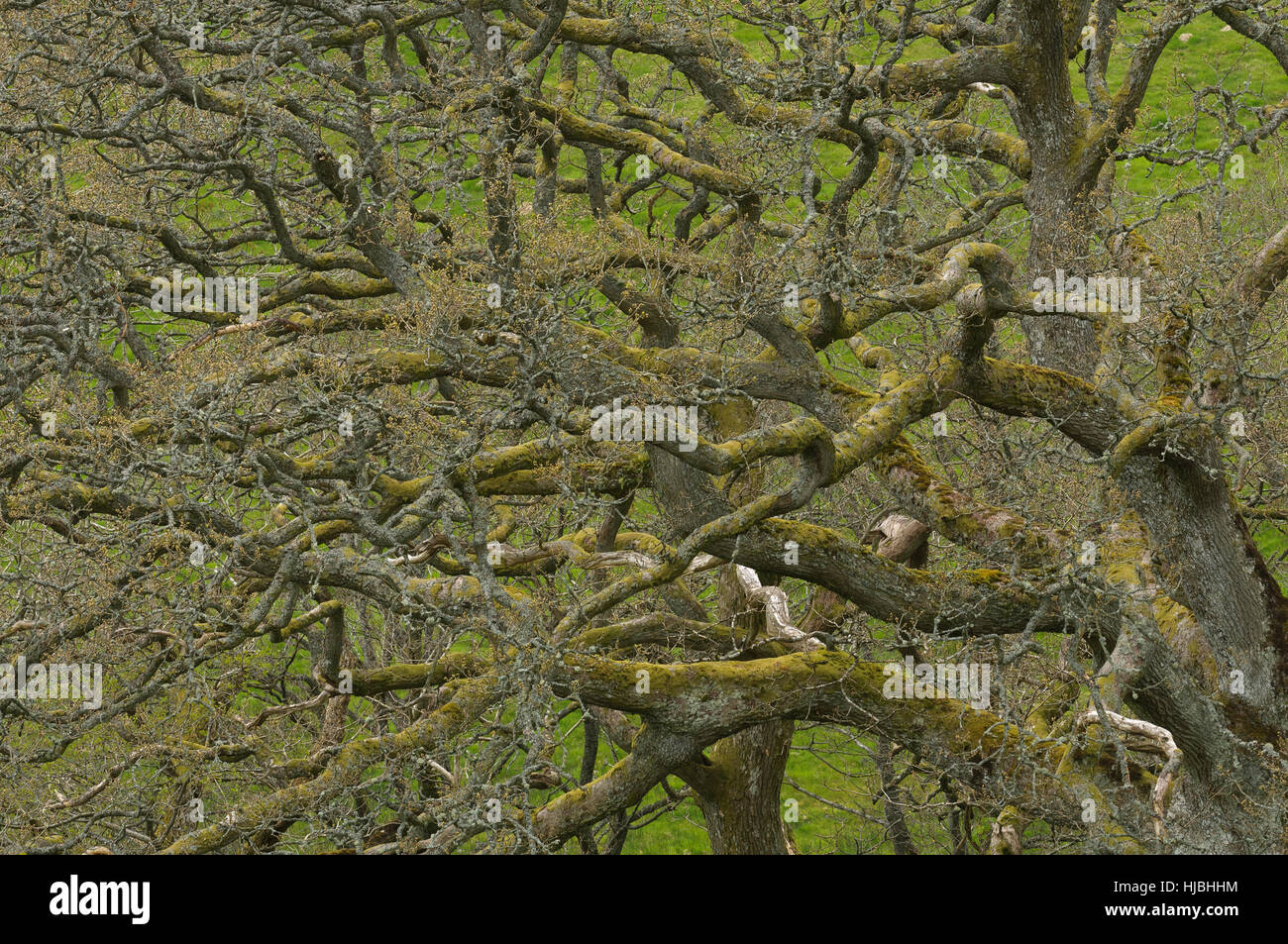 Sessile oak (Quercus petraea) woodland in spring. Gilfach nature reserve, Radnorshire, Wales. May. - Stock Image