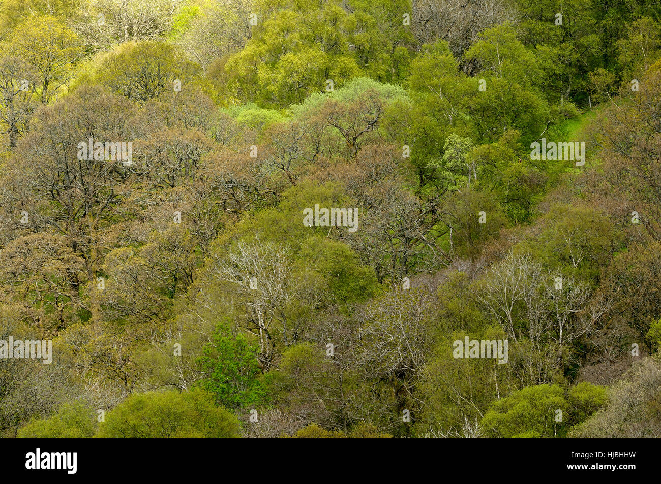 Mixed deciduous woodland in spring. Gilfach nature reserve, Radnorshire, Wales. May. - Stock Image