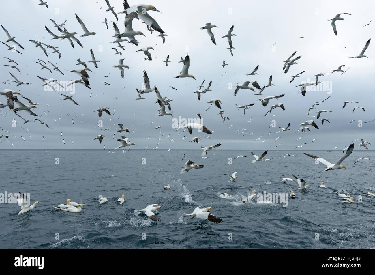 Feeding flock of northern gannets (Morus bassanus) in the Shetland Isles. June. - Stock Image