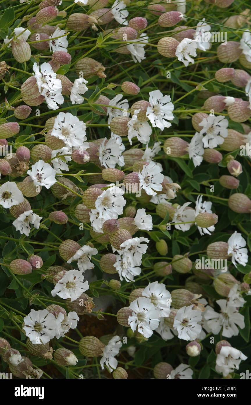 Sea campion (Silene maritima) in flower. Shetland Isles. June. - Stock Image