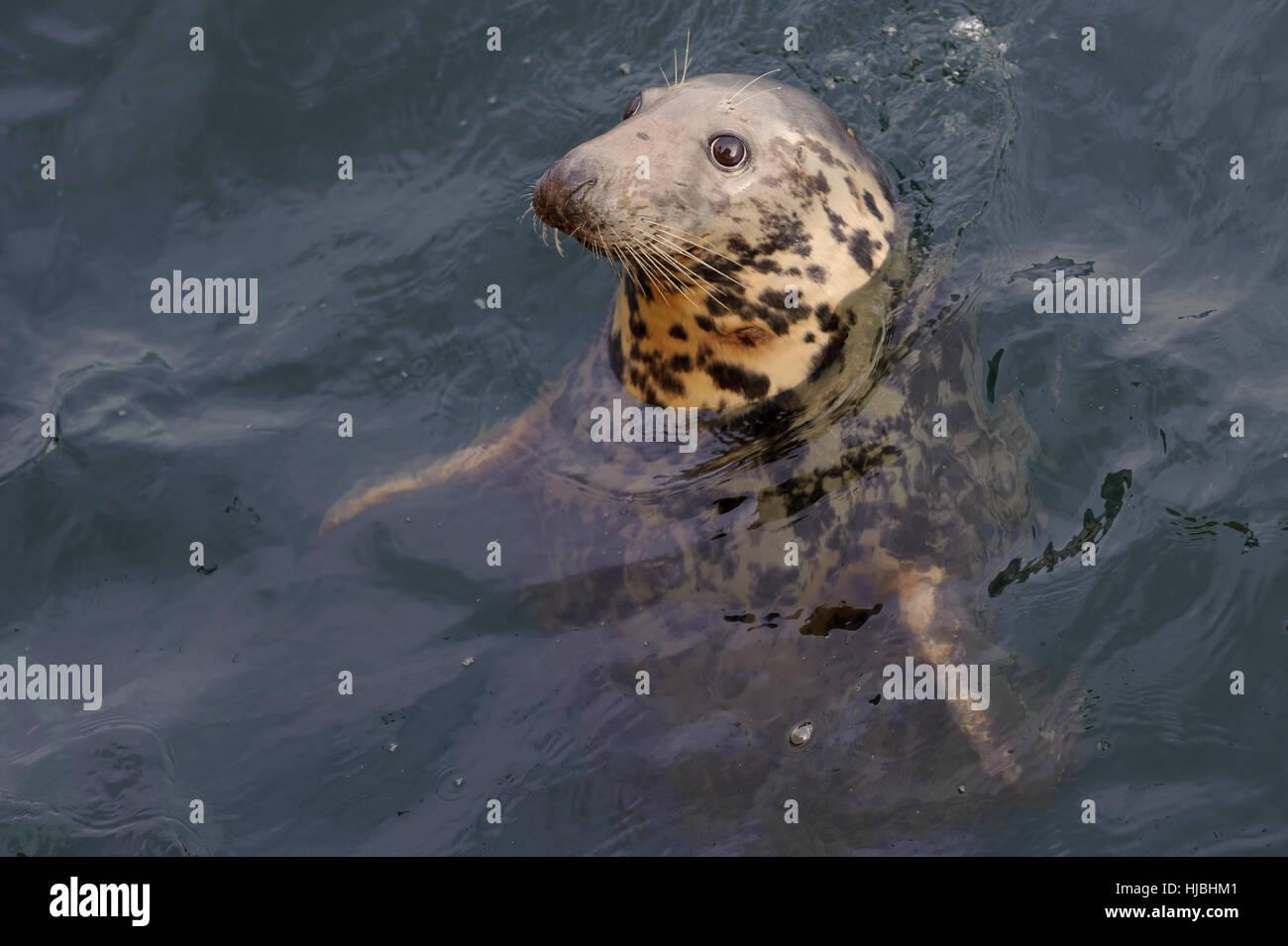 Atlantic grey seal (Halichoerus grypus) in Lerwick harbour, Shetland Isles. October 2012. Stock Photo