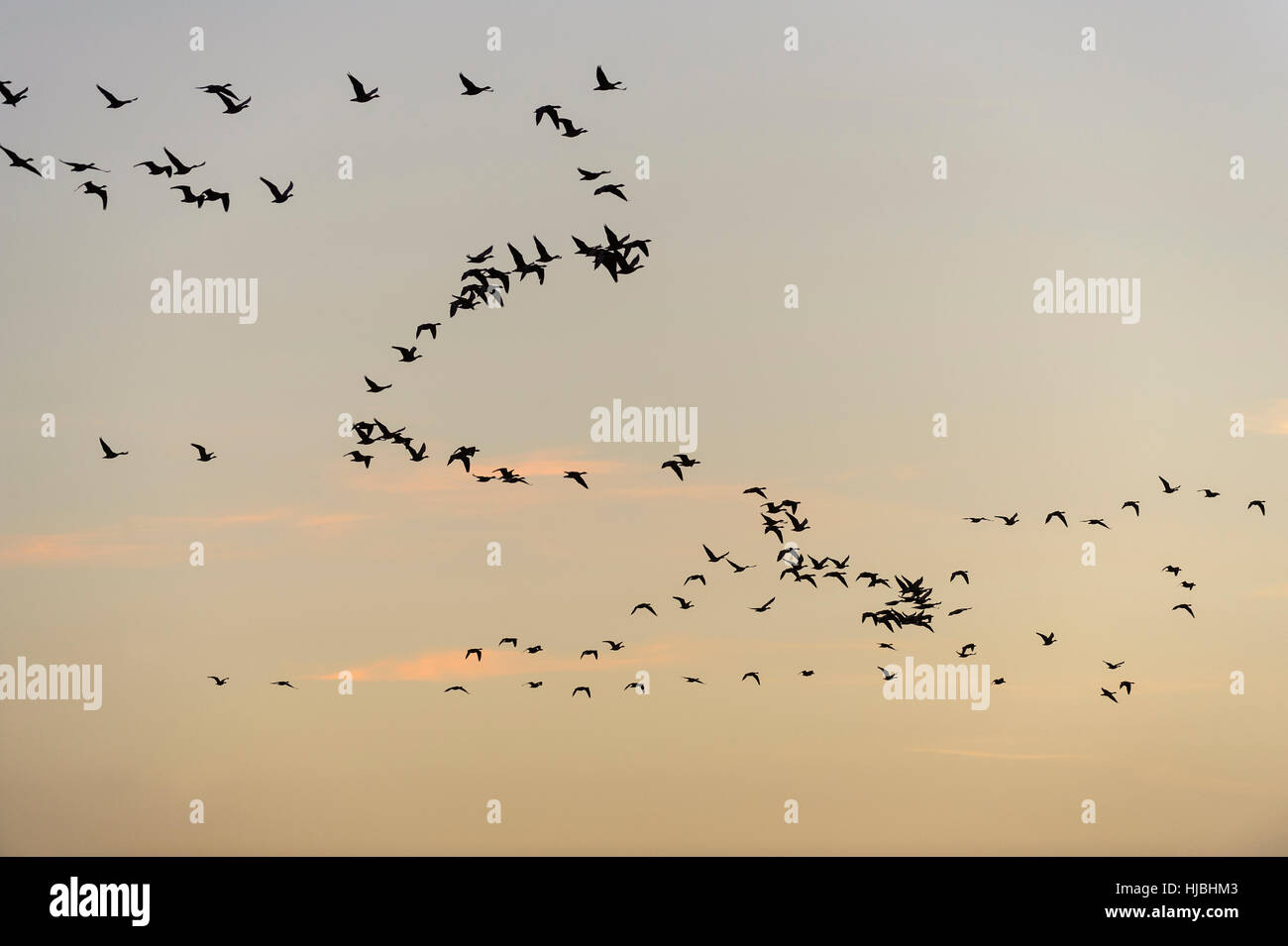 Dawn flight of pink-footed geese (Anser brachyrhynchus) over the north Norfolk coast. November 2012. - Stock Image