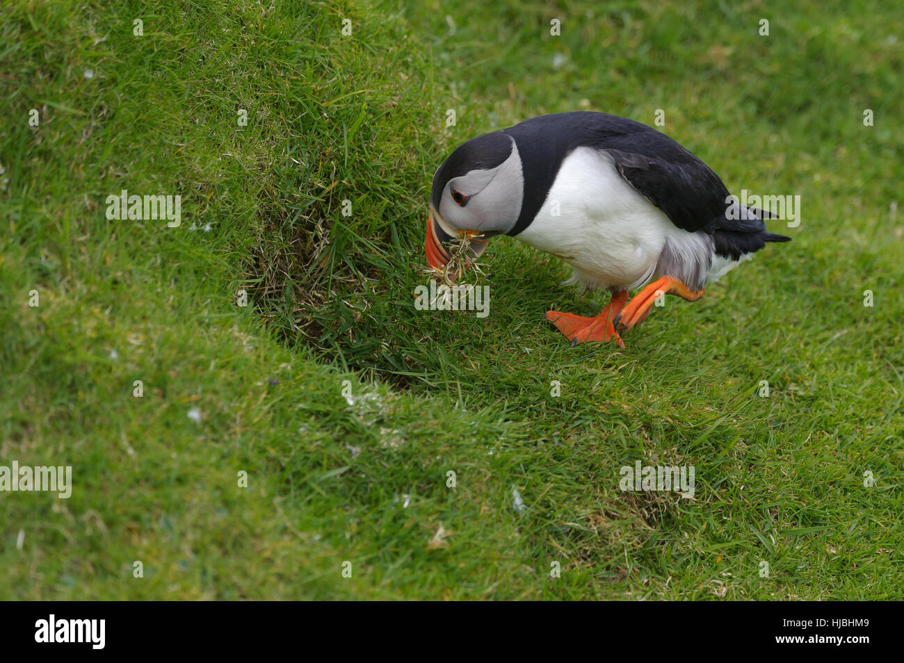 Atlantic puffin (Fratercula arctica) summer adult taking nesting material in to burrow on sea cliff. Hermaness National - Stock Image