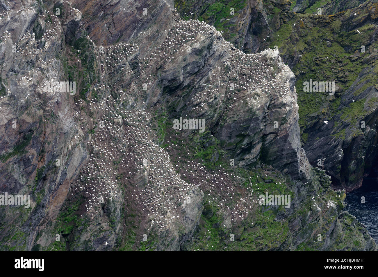 Nesting colony of northern gannets (Morus bassanus) on sea cliffs at Saito, Hermaness National Nature Reserve, Shetland. - Stock Image