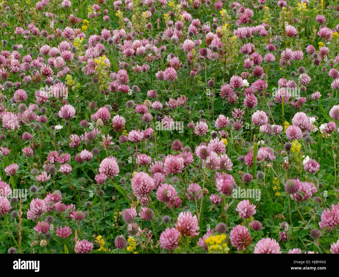 Machair habitat on the isle of Vatersay, in the Outer Hebrides, showing red clover (Trifolium pratense) and yellow - Stock Image