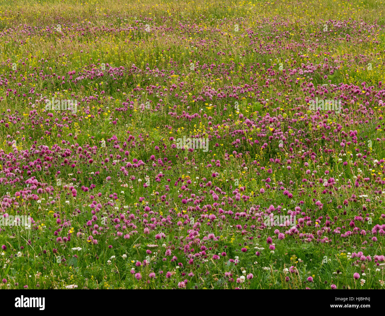 Machair habitat on the isle of Vatersay, in the Outer Hebrides, showing red clover (Trifolium pratense) and Lady's - Stock Image