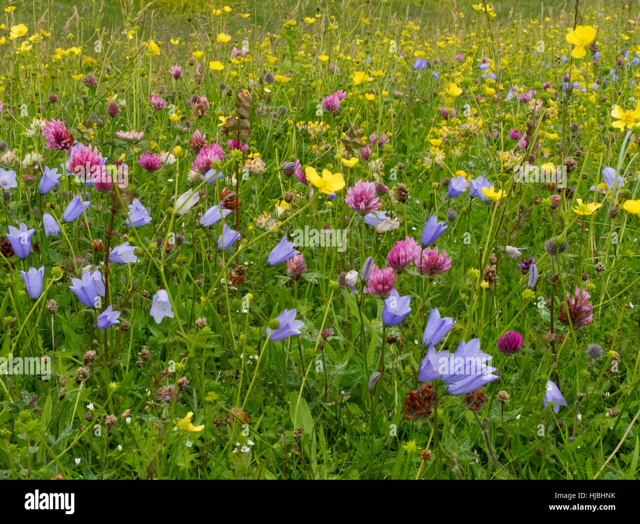 Machair habitat on the isle of Vatersay, in the Outer Hebrides, showing harebell, red clover and yellow rattle. - Stock Image