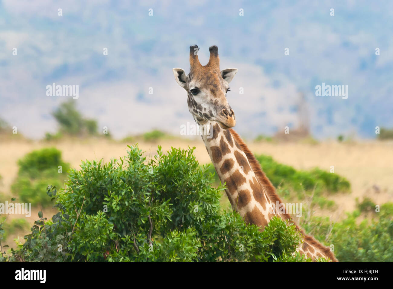 Close view of giraffe at Masai Mara National Reserve, Kenya - Stock Image
