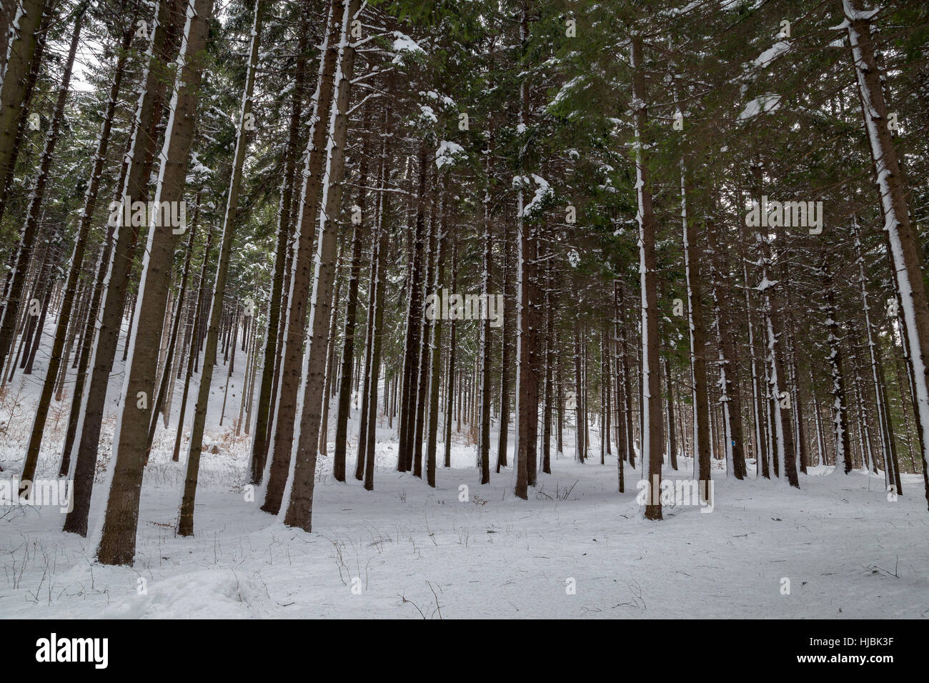 Beautiful fir trees forest - Stock Image
