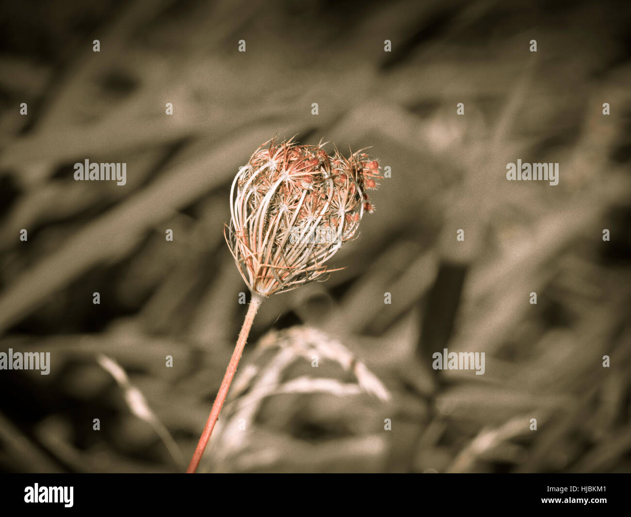 Dried flower - Stock Image