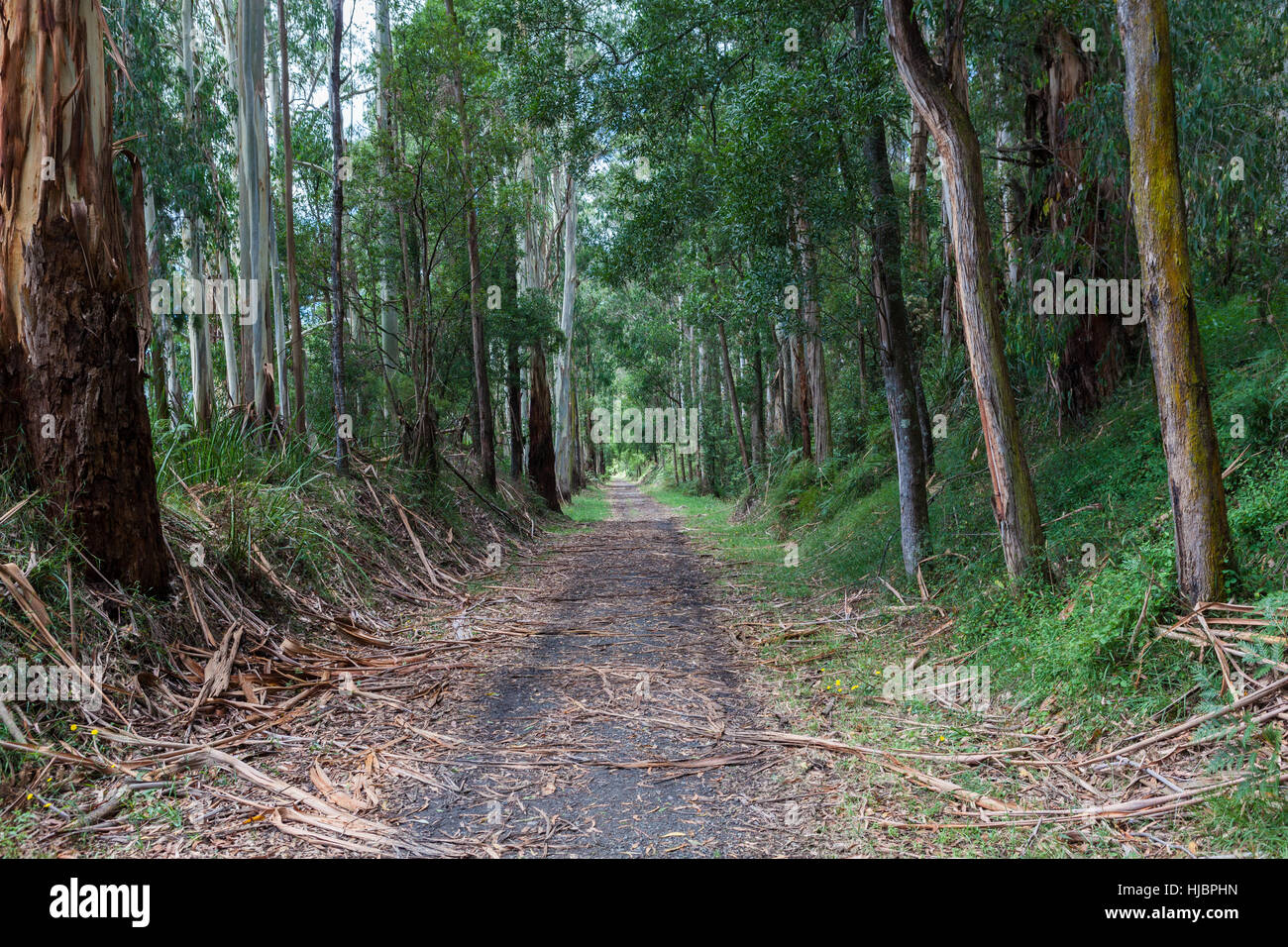 Lonely walking trail in eucalyptus forest, Australia - Stock Image