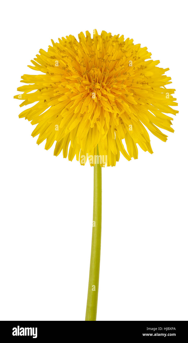 Dandelion flower isolated on white background. - Stock Image