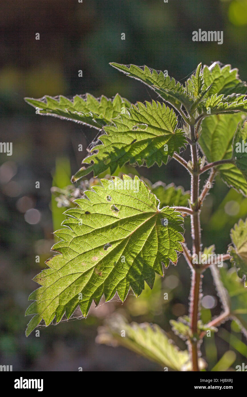 Stinging Nettle (Urtica dioica). Hairy stem and tooth edged leaves rim and back light by early morning sunlight. - Stock Image