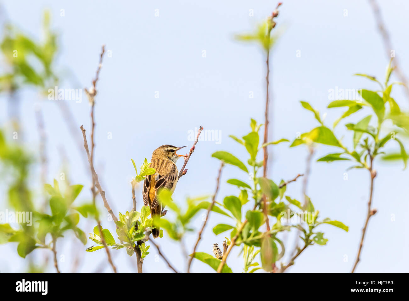 Singing Sedge warbler in a tree top - Stock Image