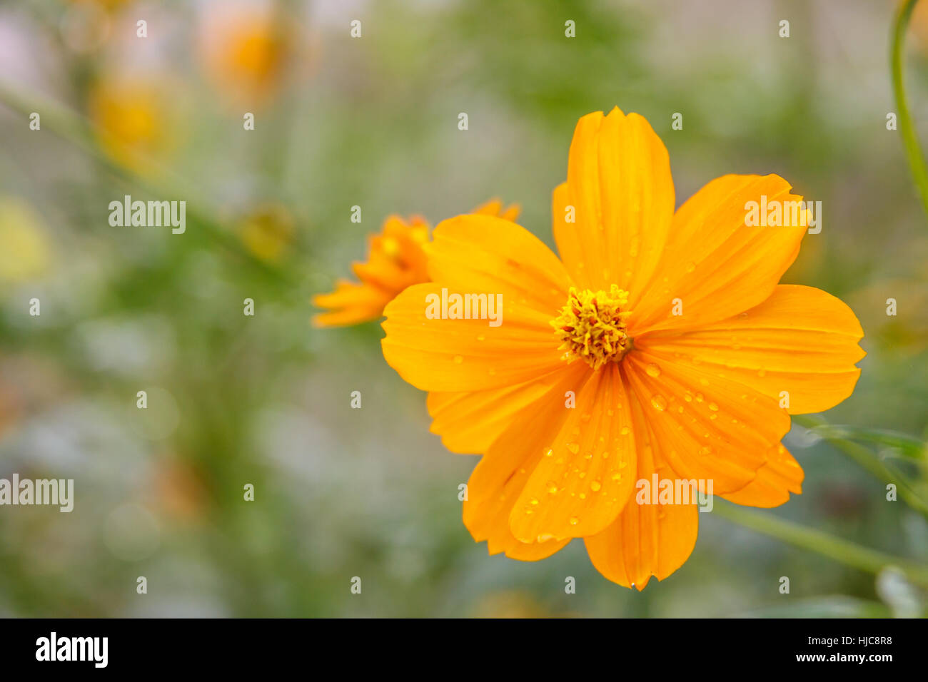 yellow cosmos flower field Stock Photo