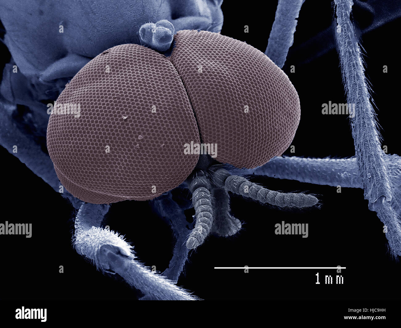 Compound eyes of male Bibionidae fly, marsh fly - Stock Image