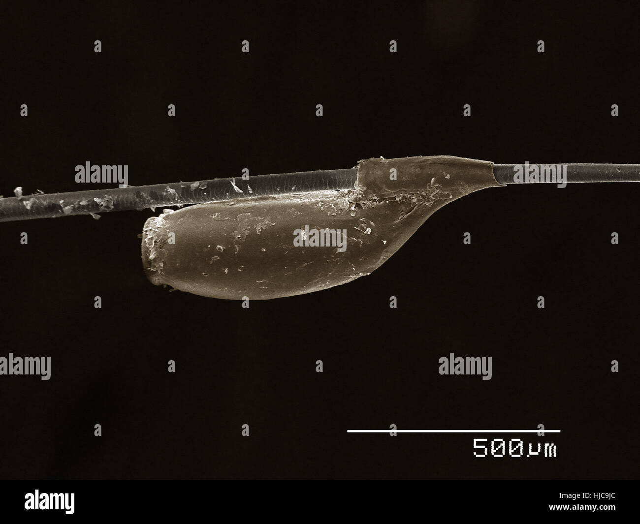 Egg of cat louse (Phthiraptera: Trichodectidae, Felicola Subrostratus) on the hair of host - Stock Image