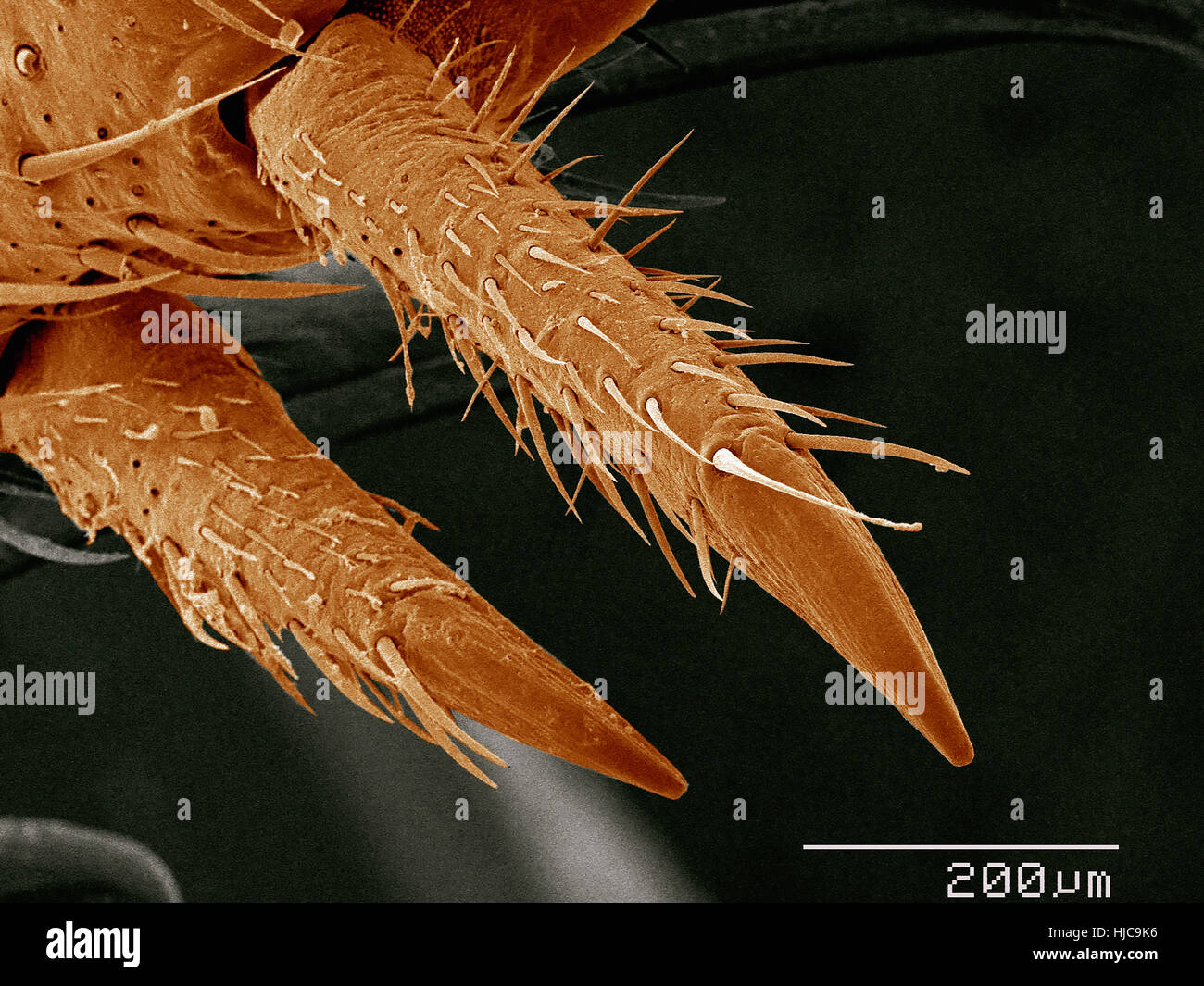 Tarsal claws of house cricket, Acheata sp - Stock Image