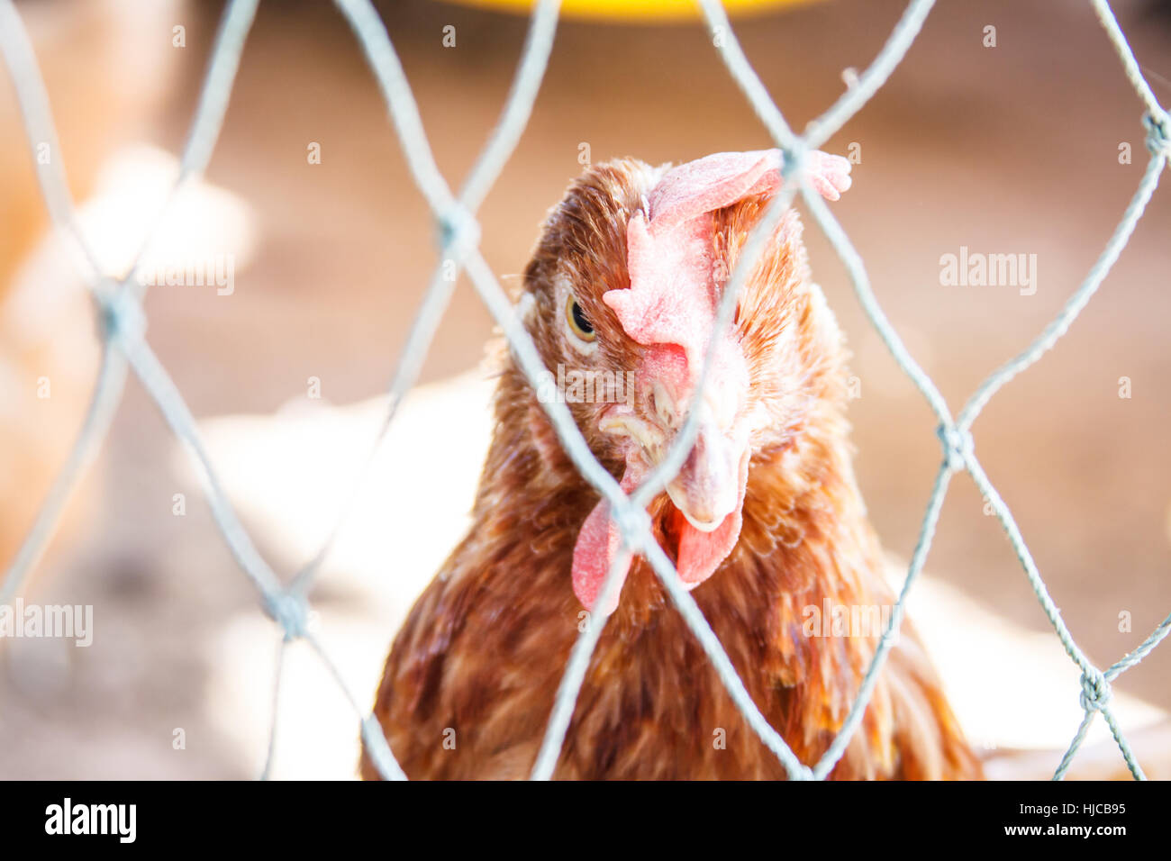 Chicken behind the fence on the farm Stock Photo