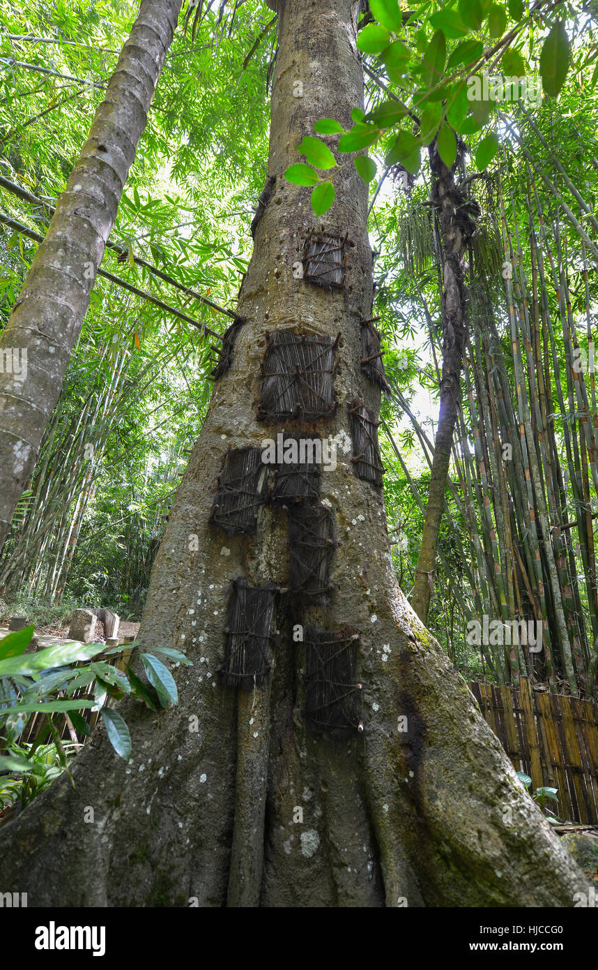 Large old tree containing several baby graves in Kambira, Sulawesi, Indonesia. - Stock Image