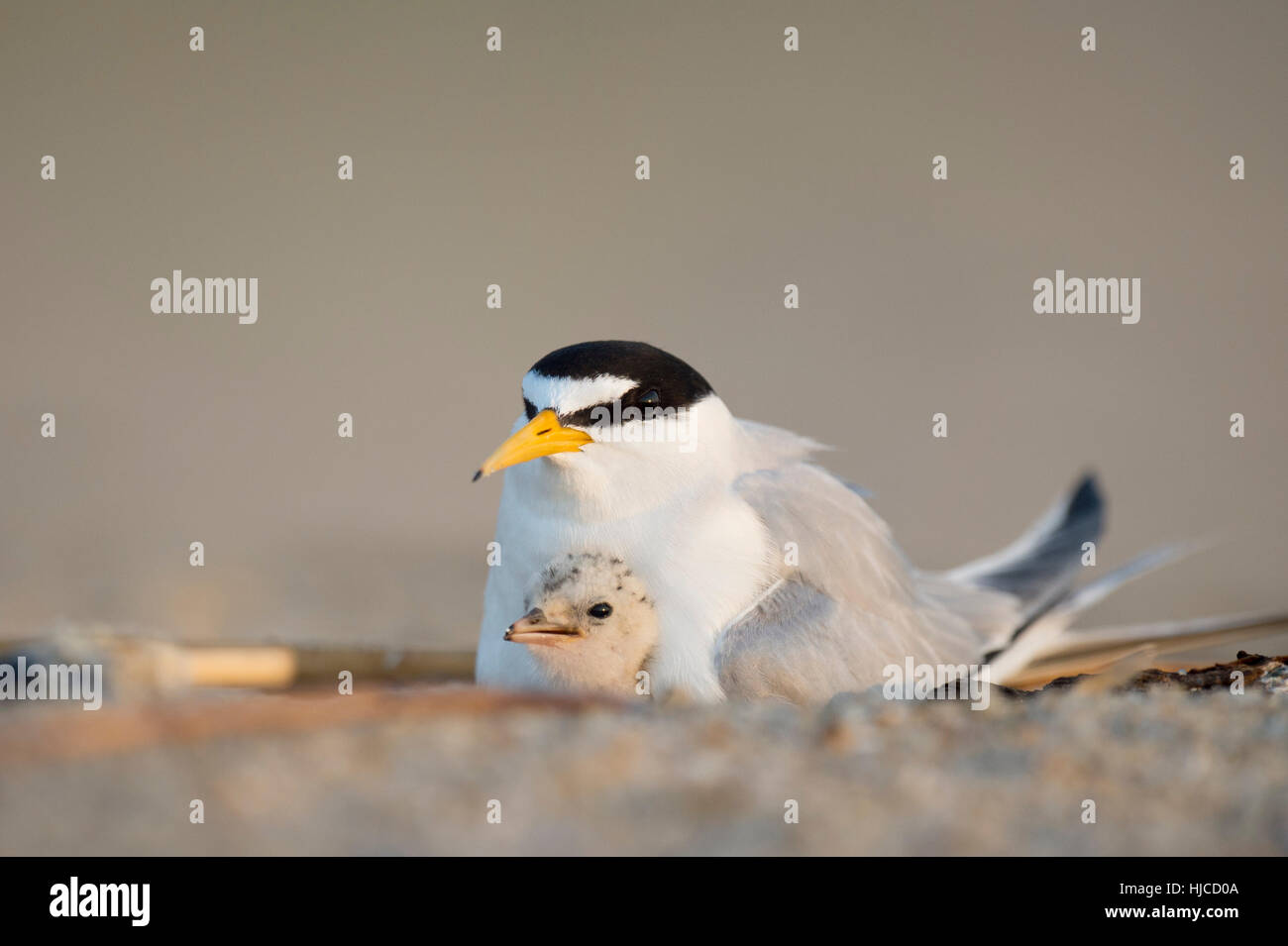 A Least Tern chick snuggles in close with its parent to stay safe on the open beach in the early morning sunlight. - Stock Image