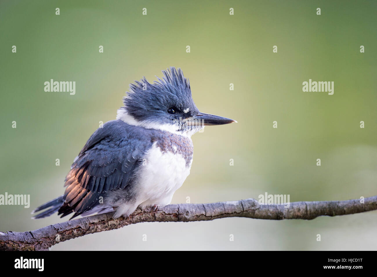 A close photo of a Belted Kingfisher perched on a branch in soft light with a green background. - Stock Image