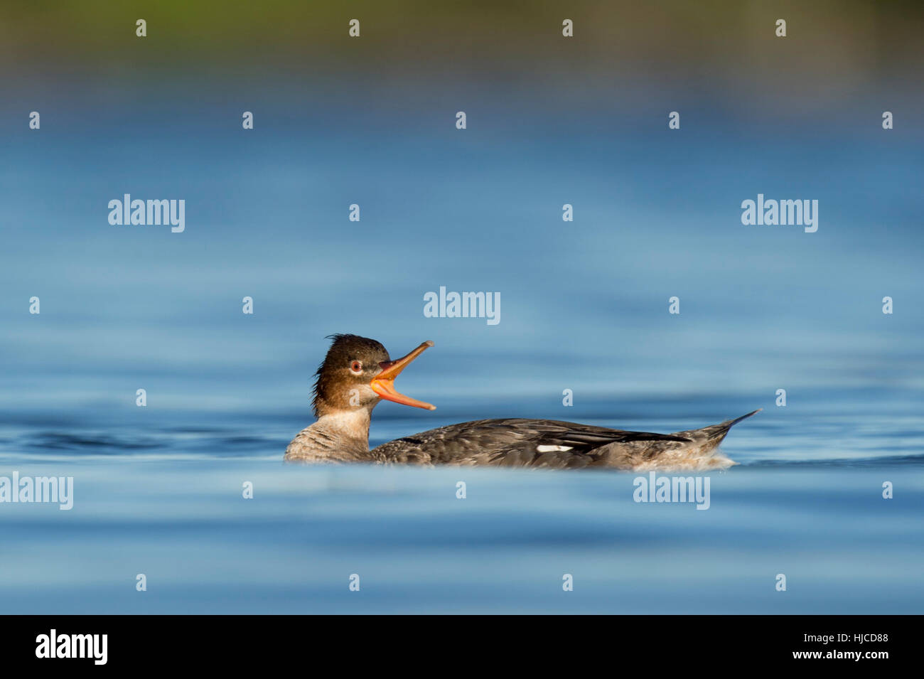 This female Red-breasted Merganser calling out loudly at other ducks nearby as it swims along the bright blue water. - Stock Image