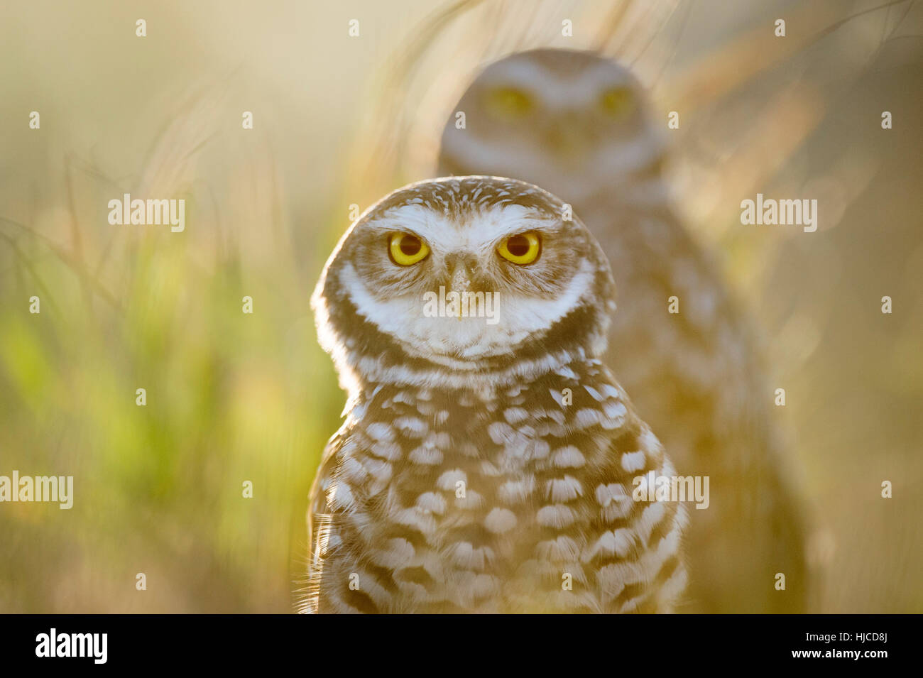 One Florida Burrowing Owl stands in front of another as the bright sun shines from behind the pair. The bird's - Stock Image
