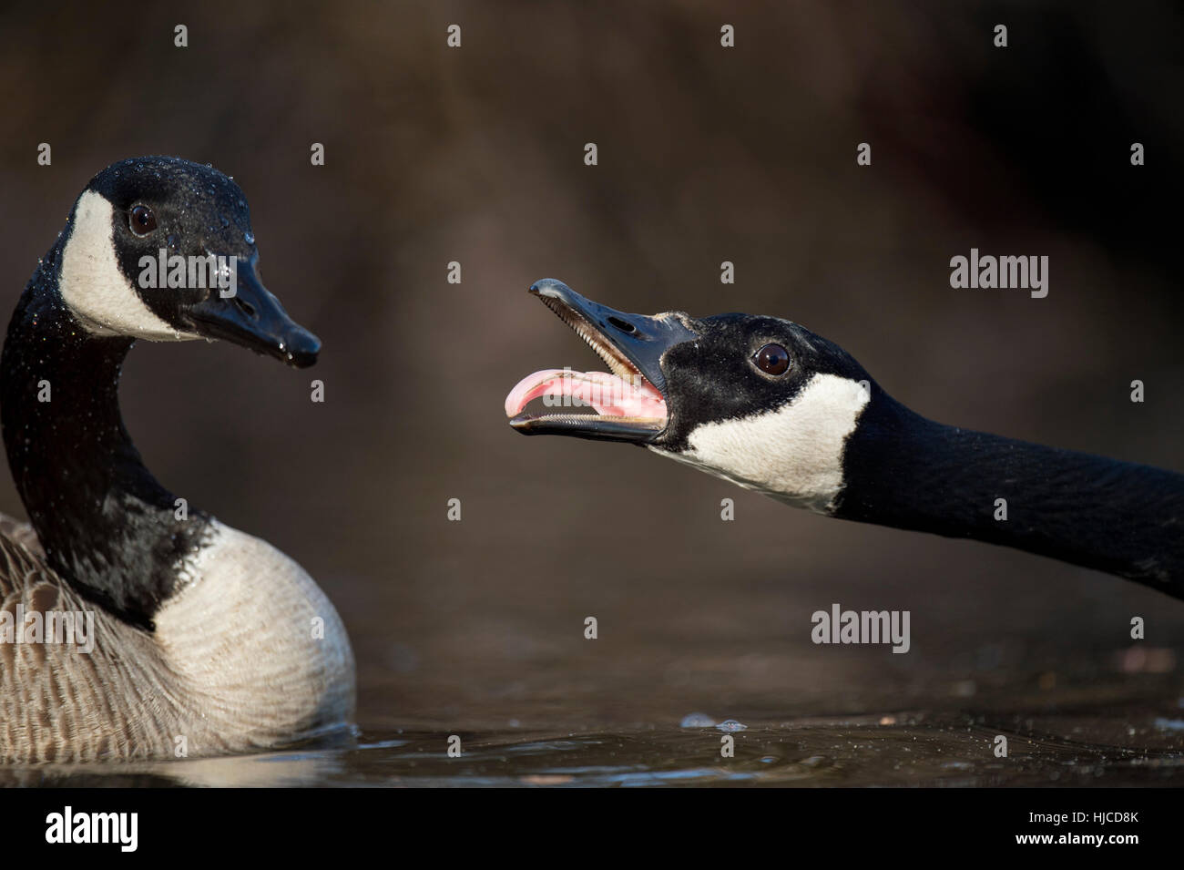 A Canada Goose calls loudly at a nearby goose invading its territory. - Stock Image