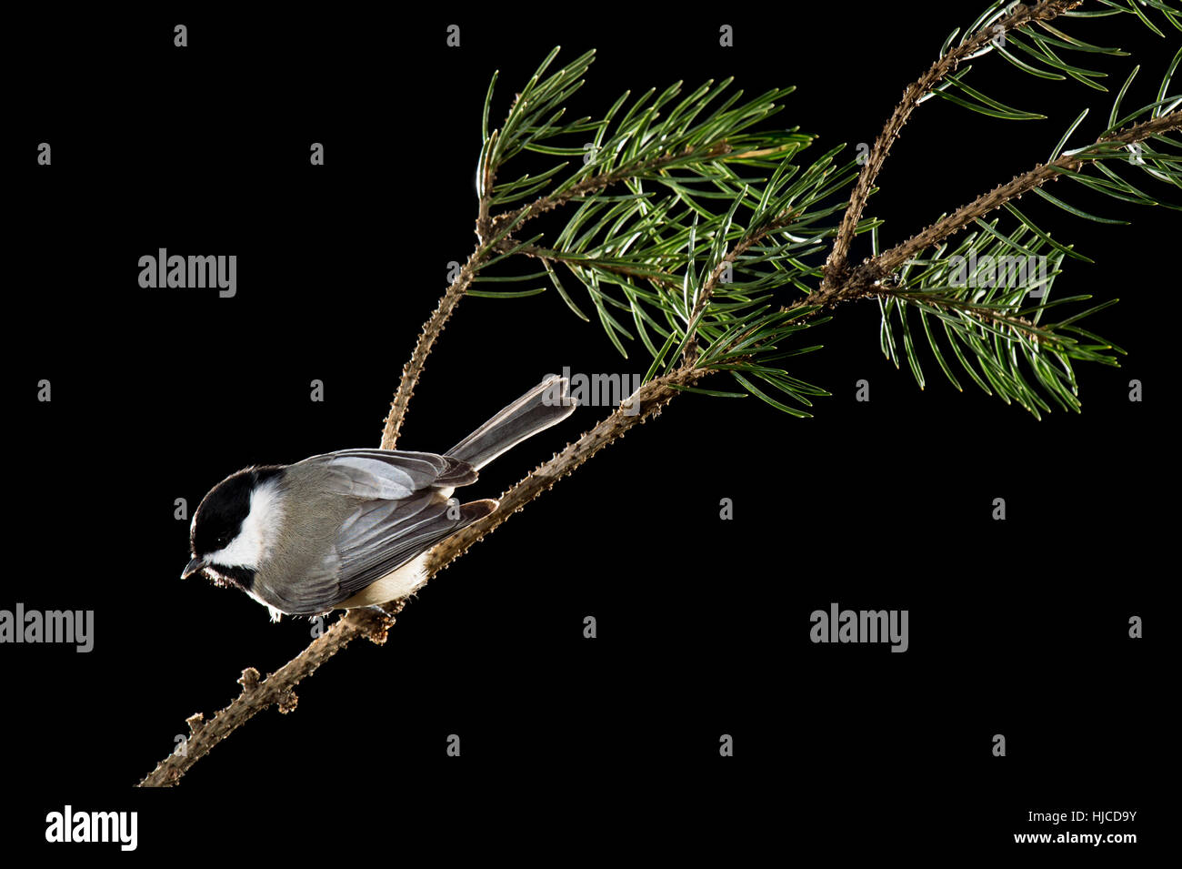 A Carolina Chickadee is perched on a pine branch against a black background. - Stock Image