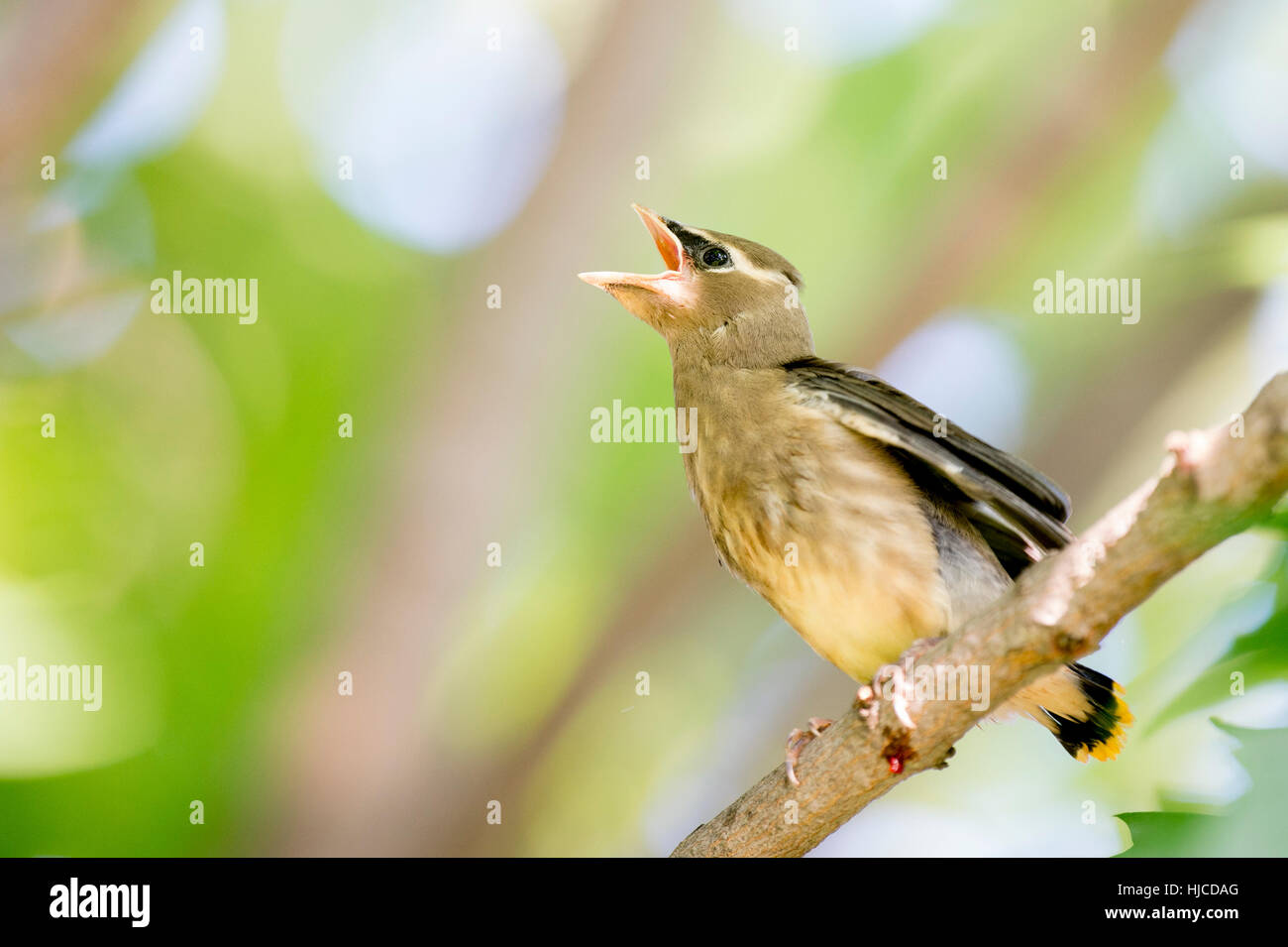 A young Cedar Waxwing calls loudly for food from its parents. - Stock Image