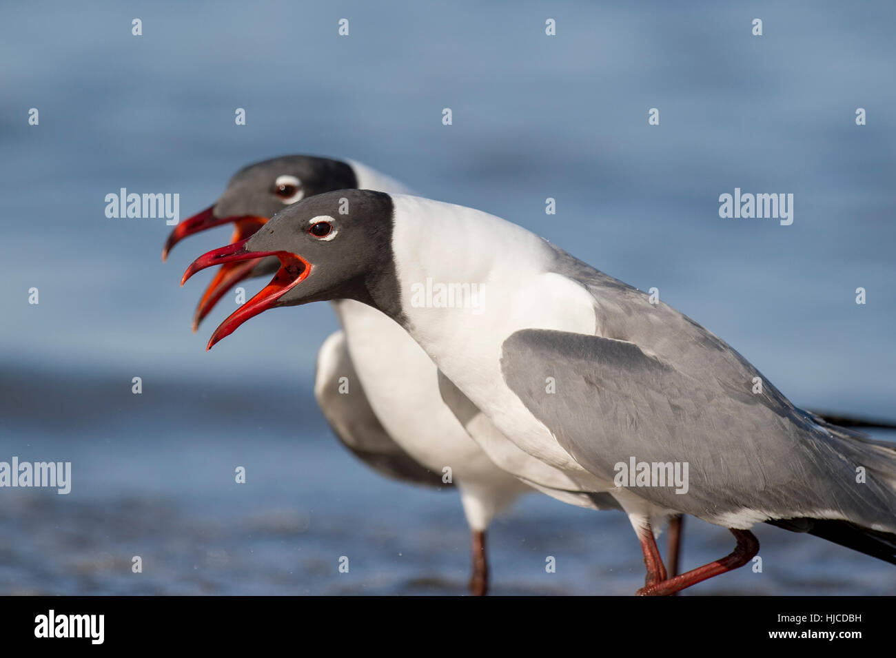 A pair of Laughing Gulls sporting their striking breeding colors perform a courtship ritual together on the beach - Stock Image